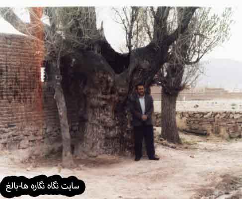 درخت نارون کنار منطقۀ باستانی روستای کوتهمهر