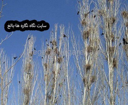 شهر کلاغ ها  : ( شهر کلاغ های بی داعش )